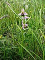 Bee orchids on Peartree Green - geograph.org.uk - 93599.jpg