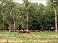Beef Herd, Scout's Rest, Nebraska 7-24-13j (10784099205).jpg