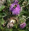 Bees on Thistle Flower - geograph.org.uk - 1423256.jpg