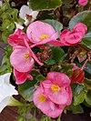 Begonia - βεγονία.jpg