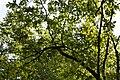 Betula alleghaniensis Keltakoivu Gulbjörk C IMG 6134.JPG