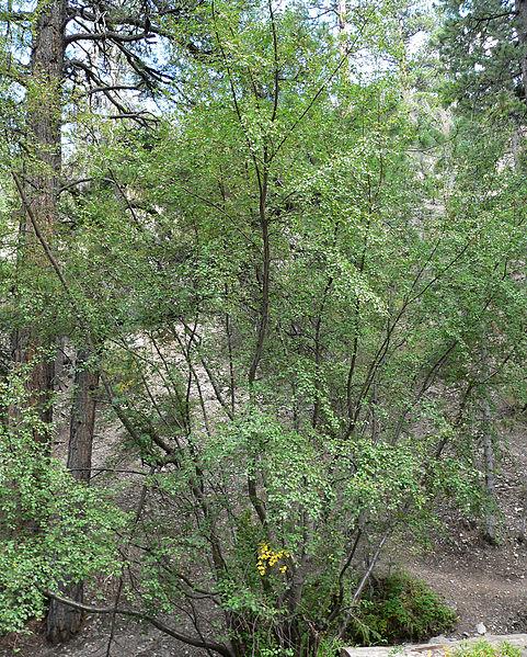 File:Betula occidentalis 1.jpg