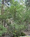 Betula occidentalis 1.jpg