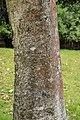 Betula raddeana in Hackfalls Arboretum (1).jpg