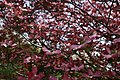 Big-dogwood-tree-flowers - West Virginia - ForestWander.jpg