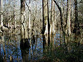 Big thicket.jpg