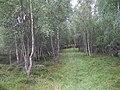 Birch woods, Rynuan - geograph.org.uk - 957528.jpg