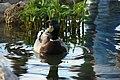 Bird-Duck-Mallard-1903.jpg
