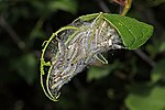 Bird-cherry ermine moth (Yponomeuta evonymella) caterpillars.jpg