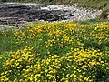 Birdsfoot trefoil by the coast path - geograph.org.uk - 844921.jpg