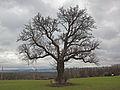 Birne bei Eichenfürst.jpg