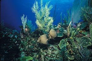 Biscayne National Park H-two gray angels on reef.jpg