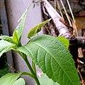 Blütengrille-Treecricket.jpg