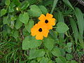 Black-eyed Susan (3115049795).jpg