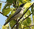 Black-faced Cuckooshrike.jpg