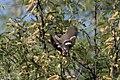 Black-headed Grosbeak (male) San Pedro House Sierra Vista AZ 2017-05-11 07-21-36 (34601589135).jpg