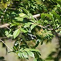 Black-throated Gray Warbler (13521476214).jpg