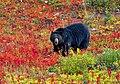 Black Bear -- Lake Louise Upper Gondola Terminal Alberta (CA) September 2019 (50091202696).jpg