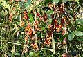 Black Bryony berries. Tamus communis - Flickr - gailhampshire.jpg