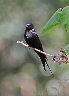 Black saw-wing species of bird