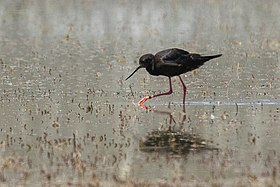 Black Stilt - South Island - New Zealand (25348644538).jpg