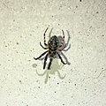 Black small spider on the white wall - 1.jpg