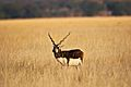 Blackbuck at Taal Chapar.jpg