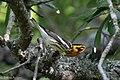 Blackburnian Warbler (male) Anahuac NWR-Jackson Prairie Woodlot TX 2018-04-24 15-33-37 (42013099602).jpg