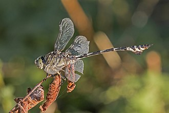 Gomphidae - Bladetail, male, Lindenia tetraphylla Republic of Macedonia