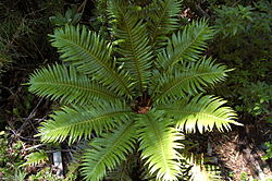 Blechnum magellanicum from above.jpg