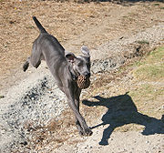 This Weimaraner is distinctly blue/black in colour, a colour which is penalised or disqualified in dog shows