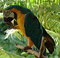 Blue and Yellow Macaw (Ara ararauna) (5655888716).jpg