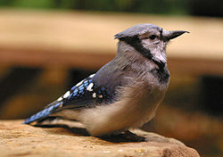 Blue jay national aviary.jpg