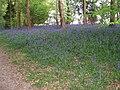 Bluebells in Lane Wood - geograph.org.uk - 2004631.jpg