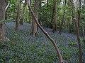 Bluebells in Penglais woods - geograph.org.uk - 1195920.jpg