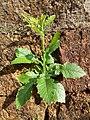 Blumea species at Manathana.jpg