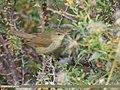 Blyth's Reed Warbler (Acrocephalus dumetorum) (45291061892).jpg
