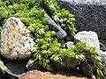 Bodendeckende Pflanze zwischen Steinen.jpg