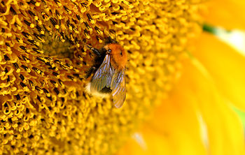 Bumble-bee Bombus hypnorum on a sunflower Fran...