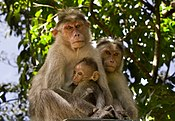 Bonnet Macaque - From Kerala.jpg