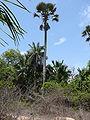 Borassus aethiopum 0087.jpg