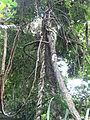 Botanical Garden of Peradeniya 15.JPG
