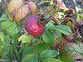 Botany Bay - Rosa rugosa 1.jpg