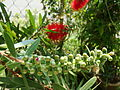 Bottlebrush (Callistemon) bud.jpg