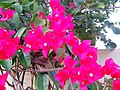Bougainvillea of Salem.jpg
