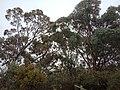 Box Gum Grassy Woodlands trees.jpg