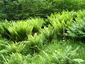 Bracken and Ferns in the Quantock Hills and Forest.JPG