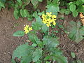 Brassica juncea-2-yercaud-salem-India.JPG