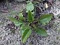 Brassica nigra 116776221.jpg