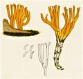 Bresadola - Calocera viscosa.png
